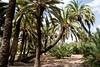 huerto de palmeras