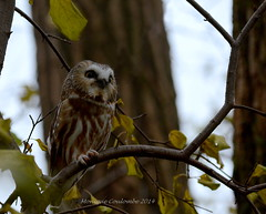 Petite Nyctale - Northern Saw-Whet Owl (Monique Coulombe) Tags: wildlife raptor owl oiseaux chouette hibou rapace wildbirds aegoliusacadicus northernsawwhetowl petitenyctale fauneduquébec oiseauxduquébec oiseauxsauvages birdinginthewild birdsofquebec regroupementquébecoiseaux moniquecoulombe