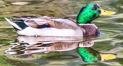 Papa Duck (mschpix) Tags: reflection water duck wildlife