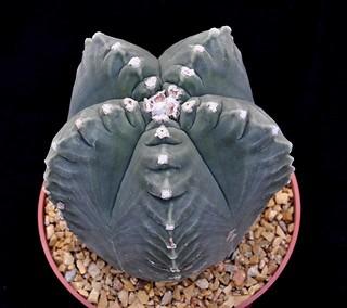 1-b Astrophytum myriostigma cv. kikko-d.11cm-h.11cm