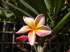 04 (oneroadlucky) Tags: pink plant flower nature      plumeriaobtusa