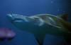 Ragged Tooth Shark #2 (JDurston2009) Tags: plymouth raggedtoothshark greynurseshark nationalmarineaquaium