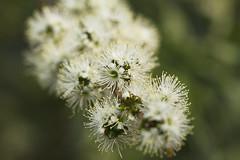 White Kunzea parvifolia (Anna Calvert Photography) Tags: white plant flower nature floral native shrub easternaustralia canberrabotanicalgardens kunzeaparvifolia myrtaceaefamily