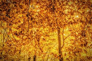 Fall at my favourite sugar bush in Waterloo Ontario