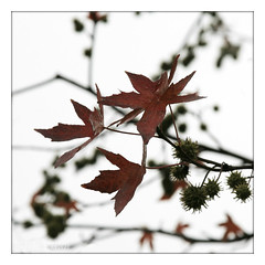 autumn tree (piktorio) Tags: autumn brown detail tree berlin fall leaves silhouette germany cloudy lookingup foliage twigs contralight piktorio