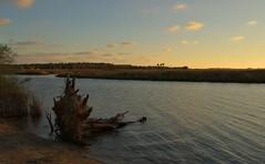 Driftwood on a Brackish River (BertDaKat) Tags: sunset reeds florida driftwood wetlands hdr saltwater freshwater