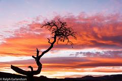 Sentinel Tree (Ralph Earlandson) Tags: capitolreef juniper sunset trees utah panoramapoint desert coloradoplateau