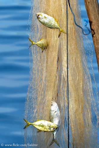Caught in the net at Baranusa harbour, Pantar NTT Indonesia