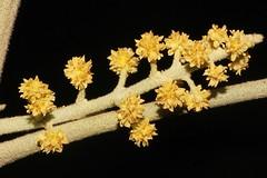 Lunasia amara (andreas lambrianides) Tags: australiannativeplant rutaceae australianflora rainforestplants rainforestplant arfp australianrainforests australianrainforestplants lunasiaamara lunasia arfflowers creamarfflowers galleryarf lowlandarf cyrfp understoreyarfp pilocarpusamarablanco lunasiaquercifolia lunasiaamarablancovaramara