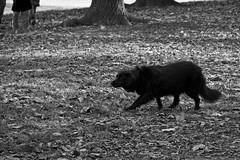 Sneaking (slightheadache) Tags: nyc newyorkcity dog newyork brooklyn prospectpark 2014 inthezone
