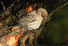 Female House Finch (sharis snaps) Tags: autumn bird fall female housefinch ononesoftware
