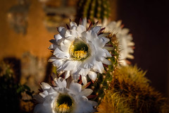 Beautiful Cactus (http://fineartamerica.com/profiles/robert-bales.ht) Tags: flowers arizona cactus people plants foothills cacti spectacular whiteflower photo succulent desert blossom awesome scenic peaceful fragrant sensational inspirational cactaceae spines magnificent inspiring haybales columnar nightbloomer flowerphotography canonshooter echinopsiscandicans arizonaphotography argentinegiant cactusphotography fivebales trichocereuscandicans americanphotograph nocturnalblooming robertbales northamericanphotography massiveflowers greetingcardsl
