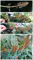 "N. Ventricosa x Xtrusmadiensis ""female clone"" flower (Red Lowii) Tags: flower n x ventricosa ""female clone"" xtrusmadiensis"