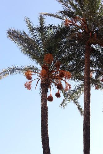 Phoenix dactylifera (Date Palm) - cultivated
