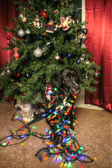 Buddy and a Friend (Cindy's Here) Tags: christmas dog cat canon holidays christmastree buddy skiddles ansh allwrappedup scavenger6 christmaswiththecritters sudio26