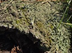 DvdP-DSC_0153 (dbvdploeg) Tags: tree lichen ballorveld cladoniagrayi