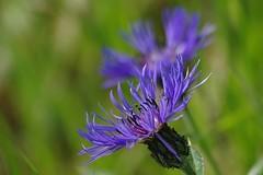 Bleuet (mamietherese1) Tags: floralessence world100f phvalue 200v200c2000v fleursetpaysages exoticimage sunrays5