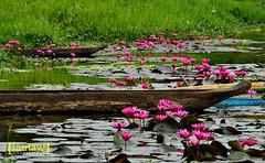 Lilies in bloom (lantaw.com) Tags: tribal lilies 2014 lakesebu dugoutcanoe tboli southcotabato soccsksargen