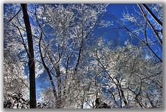 Glass Trees (shumpei_sano_exp1) Tags: blue trees winter snow storm ice glass leaves canon rebel frozen power northcarolina bluesky xti 400d ysplix betterthangood goldstaraward