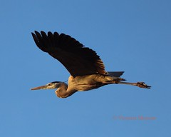 Great blue heron heading into the sunset (Victoria Morrow) Tags: