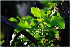 Just green... (Mike Goldberg) Tags: winter green fence jerusalem vine mikegoldberg nikond5100