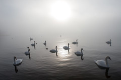 Swans in the Mist (shinichiro*) Tags: winter japan december fuji  crazyshin yamanashi 2014     afsnikkor2470mmf28ged nikond4s 20141230ds12483