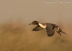 Northern Pintail (Anas acuta) (www.mikebarthphotography.com 2M Views thanks !) Tags: ngc uae anasacuta specanimal
