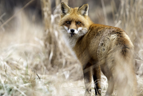 Red Fox with prey, possibly to be cached.