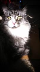 Find The Light (C x 2) Tags: sunlight cat mainecoon sunbeam mukki