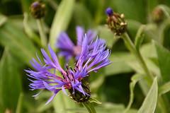 DSC_6701.jpg (littlestschnauzer) Tags: uk flowers blue plants green nature garden petals spring yorkshire may flowering cornflower springtime 2016 cornflowers