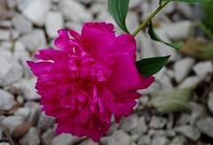 My peony (Niki Gunn) Tags: flowers flower macro pentax may peony tamron 90mm k5 tamron90mm 2016 tamron90mmf28 tamron90mmmacro tamronspaf90mmf28