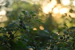 (Leela Channer) Tags: sunset nature leaves closeup golden pretty bokeh