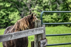 Camera Shy (Crunch53) Tags: horses horse animal fence outdoors scenery gate