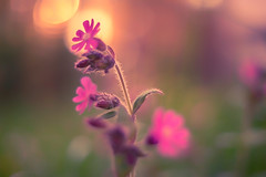 pink sunset (StadtKind - capture the Bokeh) Tags: flowers sunset plant flower nature fleur germany dawn petals europe dof bokeh sony depthoffield a7 naturephotography kempten vintagelens primelens manuallens bokehlicious pentacon1850 sonya7