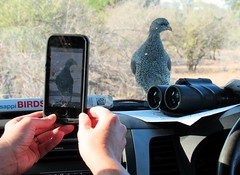 Bird-spotting at the Kruger (Kanikoski) Tags: bird car southafrica photography safari krugernationalpark iphone francolin ontracksafaris