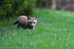 Lip-smakin' good (dbifulco) Tags: nature animals yard backyard wildlife kits redfox
