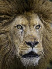 Special portrait of Tom... (Tambako the Jaguar) Tags: wild portrait male strange face cat germany zoo big nikon funny mane roaring d4 eschede openmoth filmtierpark closemlion