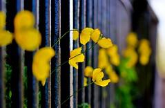 Yellow (NikWatt) Tags: macro edinburgh handheld 105mm nikwatt windowslivephoto edinburghphotographerssigma lenssigmasonysony a580greatscotsgreatcolorscotlandthe braidspolarizedsunnysigmasony a580greatscotsgreatcolorsscotland