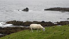 Stac Fada sheep (IrenicRhonda) Tags: uk sea public rural coast scotland highlands sheep feeding unitedkingdom pastoral idyllic bucolic browsing gbr stoer highlandsandislands p4m insta 500px geo:lat=5820142667 geo:lon=534381139 p4mportfolio