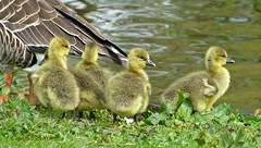 Close to mummy. (Cajaflez) Tags: waterbird goslings jong ganzenkuikens watervogel youngh gansjes