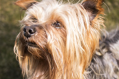 Howdy Day (meisjia) Tags: summer dog pet cute love yorkie smile animal puppy photo flickr sweet outdoor rip adorable missu petphotography familypet doglover
