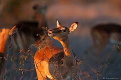 Daybreak in the Lowveld (leendert3) Tags: ngc npc impala sunrays5