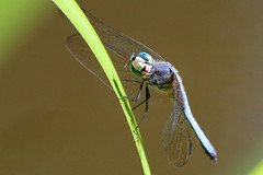 Seriously??? .....   :D (Paridae) Tags: lifeatthepond dragonfly dragonfliesofbritishcolumbia dragonfliesoflangley bluedasher pachydiplaxlongipennis insectsofbritishcolumbia insects insectsofcanada insecteaters thingswithwings afewofmyfavouritethings wavingdragonfly hello canoneos7d