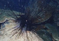 20160425_014_adj (cat64fish) Tags: marine singapore underwater urchin echinoderm satumu olympustg4