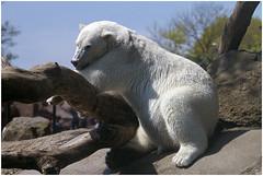 Way too hot ... (Jan Gee) Tags: bear zoo tiergarten ijsbeer rhenen dierentuin ouwehand pokar