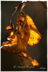 Transparence. (armandbrignoli) Tags: nature plante vigne feuille or soleil sun vine lumiere light canon