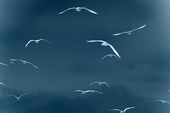 They fly away (Elbmaedchen) Tags: birds flying seagull northsea nordsee mwen