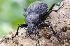 Monster Ground Beetle (Procerus scabrosus?) (bayramkus) Tags: macro nature animals insect wildlife beetle bugs enlarger makro schneider macrophotography carabidae doa groundbeetle procerus componon vahiyaam agrandizr makrofotoraflk makrofotoraf componons80mm procerusscabrosus