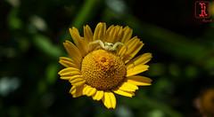 01943 (Tres-R) Tags: flowers espaa flores animals spider spain galicia animales pontevedra riasbaixas araas airelibre morrazo tresr sonyrx10 rodolforamallo