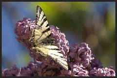 "Papillon ""le Flamb"" IMGP6059 (robert.fr.22) Tags: flowers fleurs insectes flore lilas papillons iphiclidespodalirius leflamb"